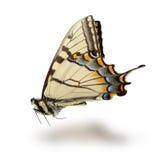 Fjäril på vit Arkivbilder