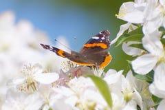 Fjäril på vitblommor Arkivfoton