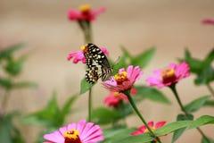 Fjäril på zinnia arkivfoto