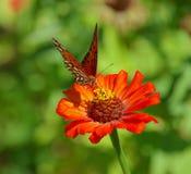 Fjäril på zinnia Fotografering för Bildbyråer