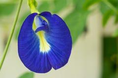 Fjäril Pea Flower Arkivfoton