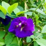 Fjäril Pea Flower Arkivbilder