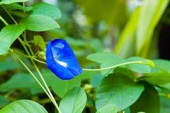 Fjäril Pea Flower Fotografering för Bildbyråer