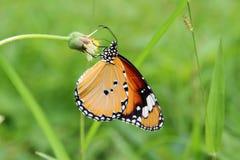 Fjäril Plaintiger, kryp, Danauschrysippus Royaltyfria Bilder