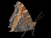 Fjäril (Polygonia C-aureum) 5 Arkivfoto
