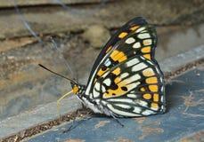 Fjäril (Sephisa dichroa) 15 Arkivbilder