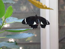 Fjäril som är klar att flyga Royaltyfri Fotografi