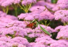 fjäril som äter bönsyrsa Royaltyfri Fotografi
