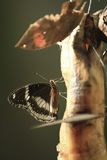Fjäril som dricker bananen Fotografering för Bildbyråer