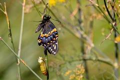 Fjäril som dykas upp från puppa Royaltyfri Bild