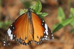 fjäril som fördelar dess vingar som sitter på bladet Arkivfoton