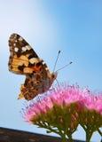 fjäril som har lunch Arkivbilder