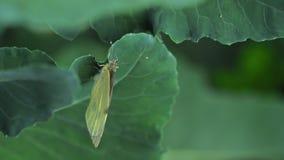 Fjäril som lägger ägg på det gröna bladet