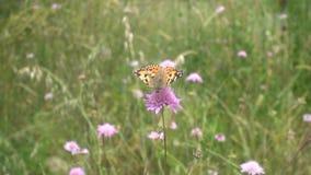 Fjäril som läppjar nektar från den rosa blomman stock video
