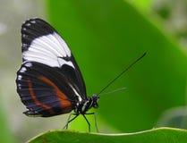 fjäril som longwing Royaltyfri Foto