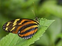 fjäril som longwing den randiga tigern arkivfoton
