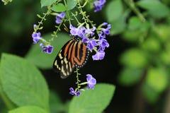 fjäril som longwing den randiga tigern Royaltyfria Bilder