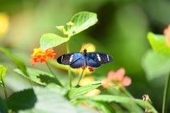 fjäril som longwing sara Arkivfoto
