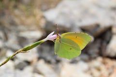 Fjäril som matar från blomman royaltyfri fotografi