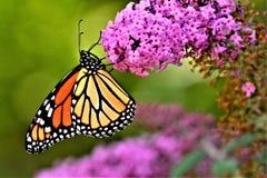 Fjäril som matar på en fjärilsbuske royaltyfri bild