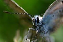Fjäril som mycket tätt fångas Fotografering för Bildbyråer