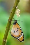 fjäril som omformas nytt royaltyfria foton