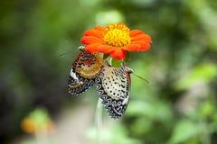 Fjäril som parar på blomman Fotografering för Bildbyråer