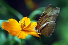 Fjäril som pollinerar blomman Arkivfoto