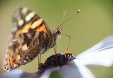 Fjäril som pollinerar tusenskönan Arkivfoton