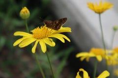 Fjäril som poseras i gul blomma arkivbild