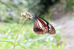 Fjäril som samlar nektar från blommorna Royaltyfria Bilder
