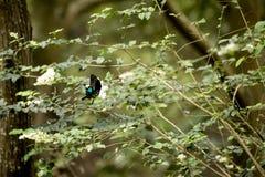 Fjäril som samlar nektar från tree'sblomman Arkivfoton