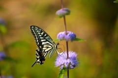 Fjäril som samlar pollen från en purpurfärgad blomma Arkivfoto