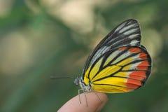 Fjäril som sitter över fingerspets Fotografering för Bildbyråer