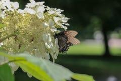 Fjäril som tycker om glädjerna av skörden för vårtid Arkivfoton