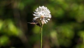 Fjäril som ut hänger på en maskros royaltyfri bild