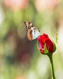 Fjäril som vilar på den röda rosblomman Arkivfoto