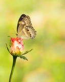 Fjäril som vilar på den vita rosa färgrosen Fotografering för Bildbyråer