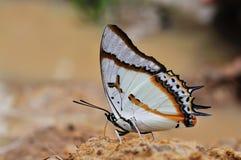 Fjäril (stora Nawab) som äter i natur Fotografering för Bildbyråer