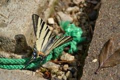 Fjäril - Swallowtail arkivbilder