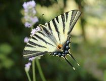 Fjäril, swallowtail med den gula vingen och svarta band arkivbilder