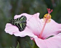 fjäril tailed jay arkivbilder