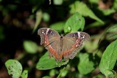 Fjäril trädgårds- kommendör Royaltyfria Bilder