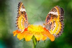 Fjäril två på blomman (malayen Lacewing) Arkivbild