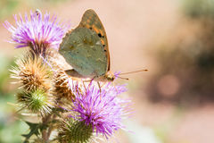 Fjäril (Vanessa cardui) på blomman Royaltyfri Fotografi