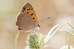Fjäril (Vanessa cardui) på blomman Arkivfoton