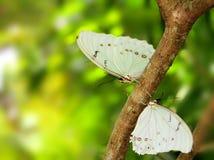 Fjäril vita Morphos på träd Arkivbilder
