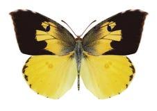 Fjäril Zerene eurydice Royaltyfri Bild