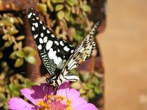 Fjärilar äter pollen Arkivfoto