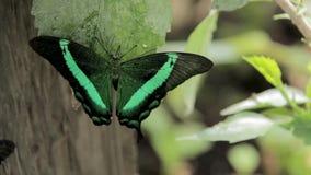 fjärilar arkivfilmer